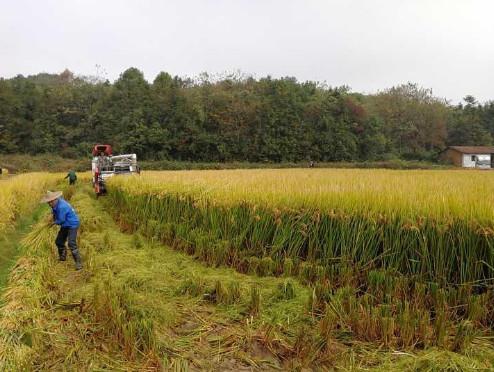 百亩亩产破1000公斤!浙江水稻破了个新纪录